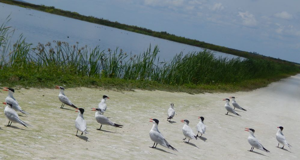 Seagulls at Lake Apopka