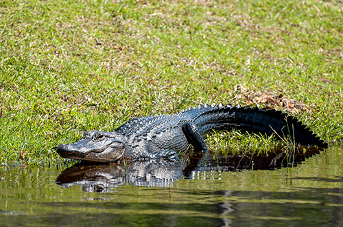 Florida State Reptile: Alligator