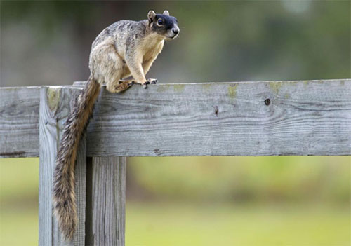 Florida Fox Squirrel