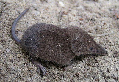 Florida Homosassa Shrew