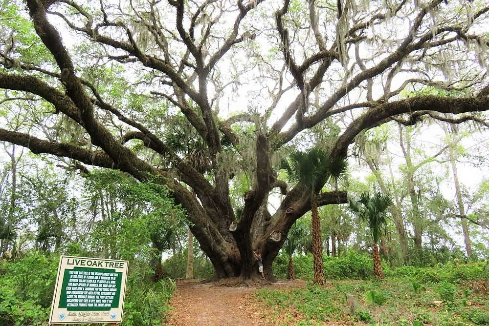 400 year old Live Oak Tree