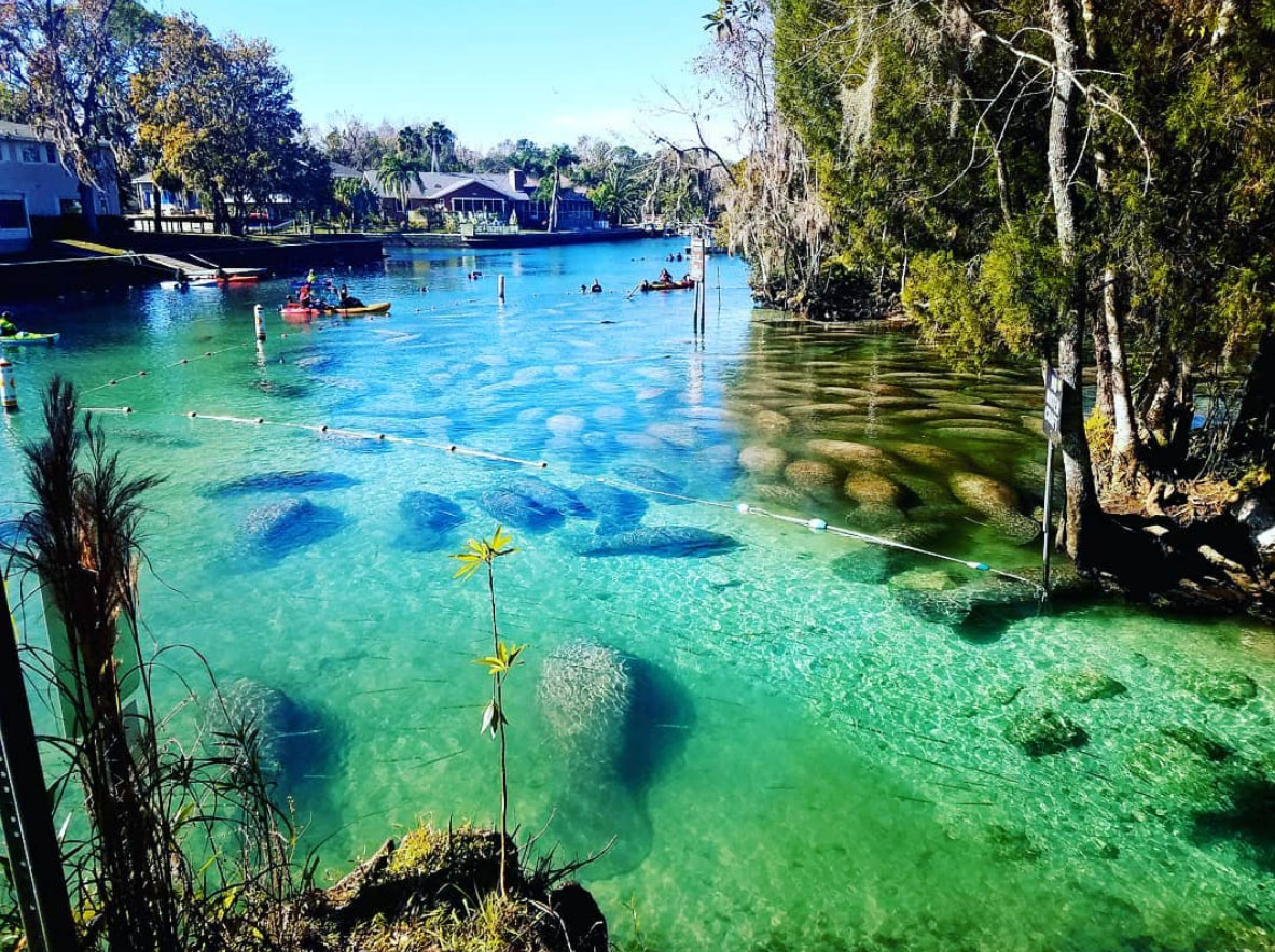 Manatees in Crystal River Florida