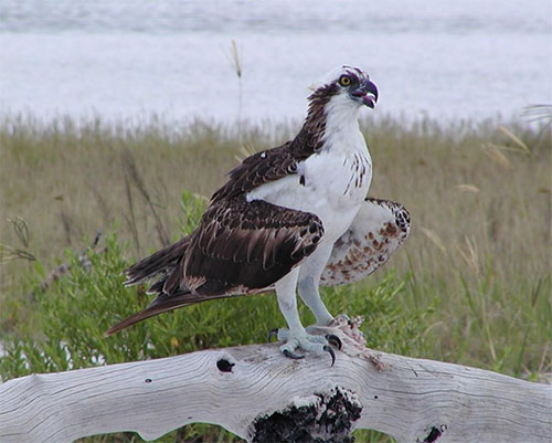 Florida Keys Osprey
