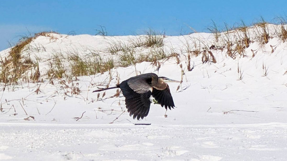 Blue Heron Birding in Pensacola Beach Florida