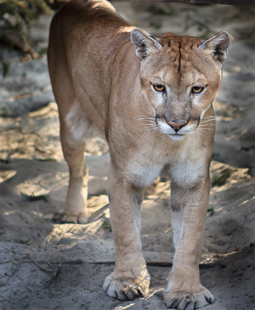 Florida State Animal: Florida Panther