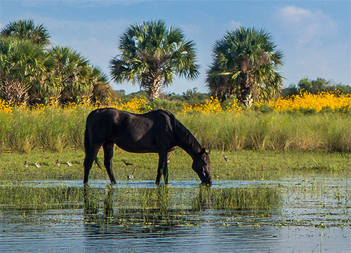 Florida State Horse