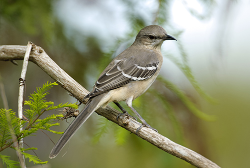 Florida State Bird Mockingbird