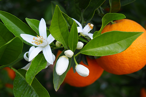 Florida State Flower: Orange Blossom