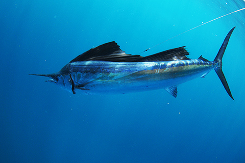 State Saltwater Fish: Atlantic Sailfish
