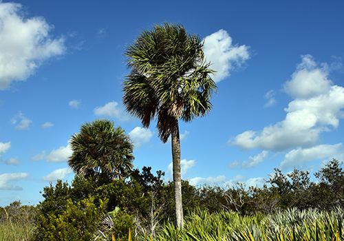 Florida State Tree: Sabal Palm