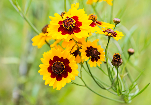 Florida State Wildflower: Coreopsis