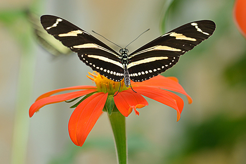Florida State Butterfly: Zebra Longwing