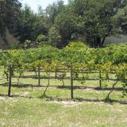 Top 5 Wineries and Vineyards in Central Florida